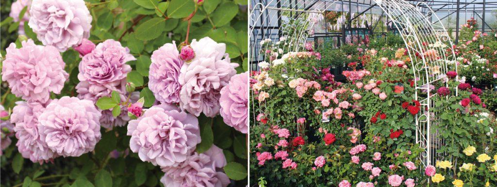 世界中のバラが大集合 その数なんと500品種!
